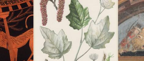 Il bianco pioppo dalle foglie argentee